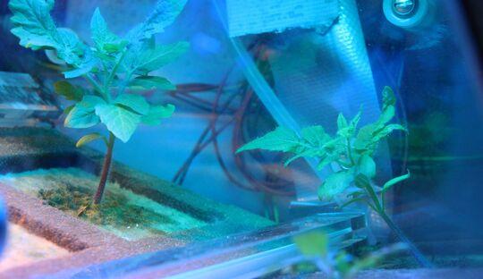 Das DLR plant, Tomatenpflanzen im All unter den Bedingungen der Mondschwerkraft zu ziehen.